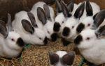 Зерновой корм для кроликов: чем и как кормить?