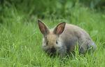 Сколько ходят беременные крольчихи?