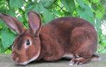 Особенности разведения кроликов Рекс