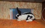 Особенности разведения кроликов породы Строкач