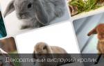 Сколько в домашних условиях живут вислоухие декоративные кролики?