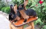 Особенности огненных кроликов