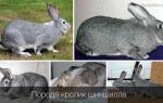 Кролик советская шиншилла и описание породы