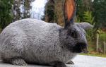 Кролики породы Советское серебро и Советский мардер