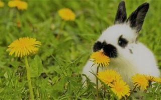 Можно ли кормить кролика одуванчиками?