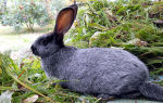 Все о кроликах Полтавское серебро