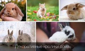 Продолжительность жизни декоративных кроликов в домашних условиях