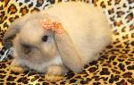 Особенности породы кроликов Вислоухий баран