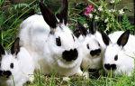 Особенности кроликов породы Бабочка