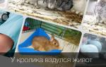 Что делать если у кролика вздулся живот и какое лучше применить лекарство?