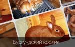 Бургундский кролик: описание, продуктивность породы и разведение