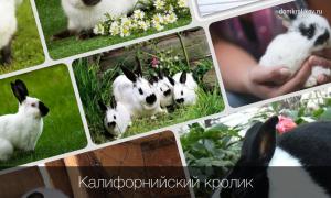 Разведение породы калифорнийских кроликов в домашних условиях