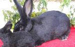 Как разводить кроликов породы Ризен
