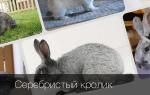 Кролики породы Серебро и их характеристика