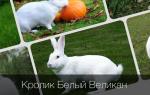 Все о кроликах породы Белый Великан: описание, содержание и разведение