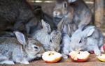 Как правильно кормить кроликов яблоками?