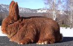Как разводить больших кроликов?