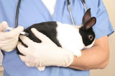 Вакцинирование кролика