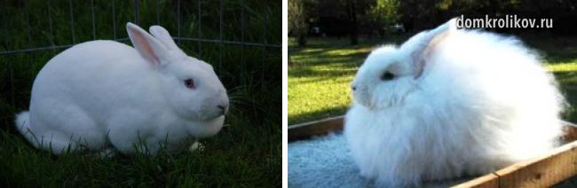 Кролик Белый Великан описание и характеристика породы разведение и содержание альбиносов в домашних условиях