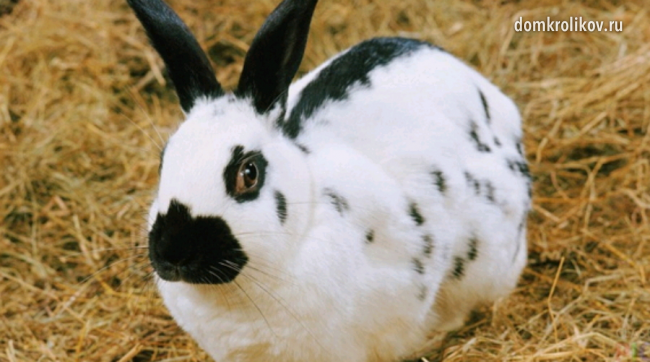 Немецкий кролик порода немецкий обер