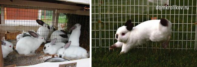 Разведение декоративных кроликов в домашних условиях для начинающих 427