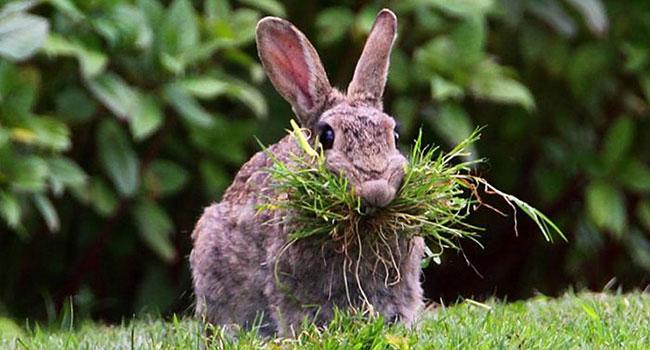 Грызун ест траву