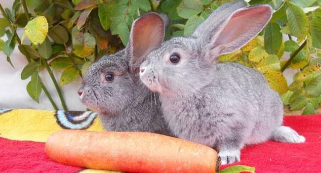 Крольчата и морковь