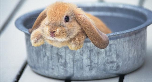 Кролик в тазу