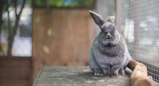 Вялый кролик