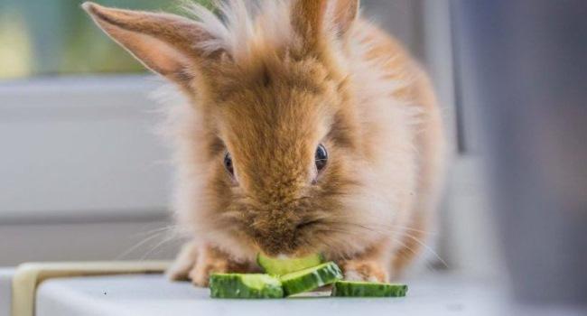 Кролик ест огурец