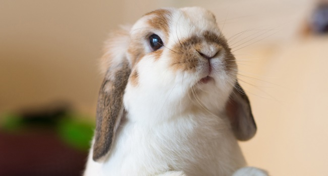 Мордочка кролика