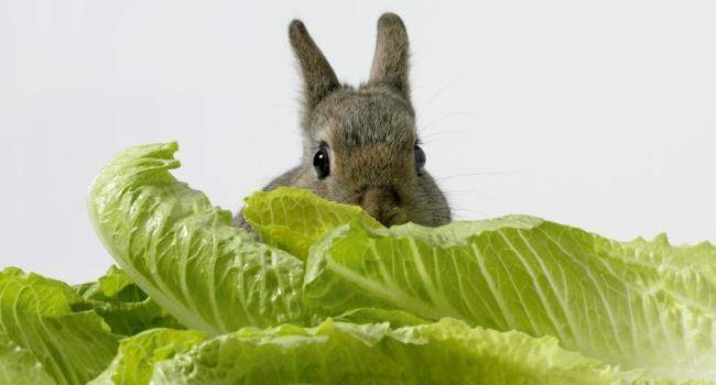 Кролик и капуста