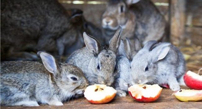 Кролики едят яблоко