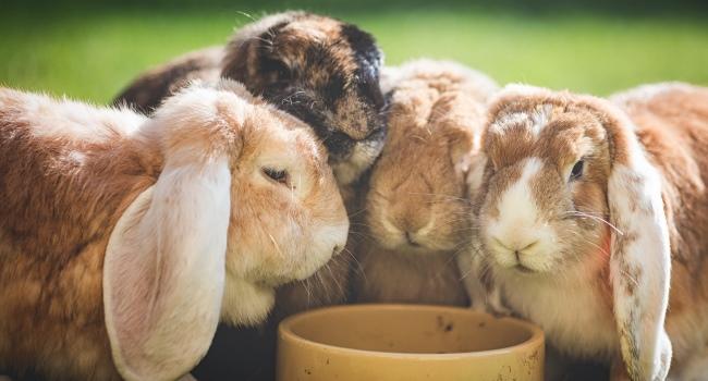 Кролики возле миски
