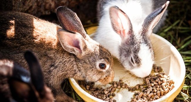 Кролики едят сухой корм