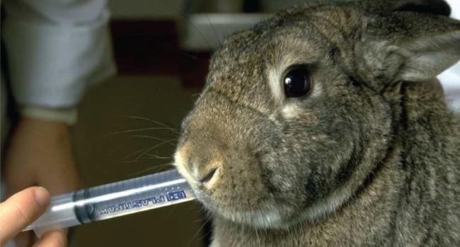 Кролика поят со шприца