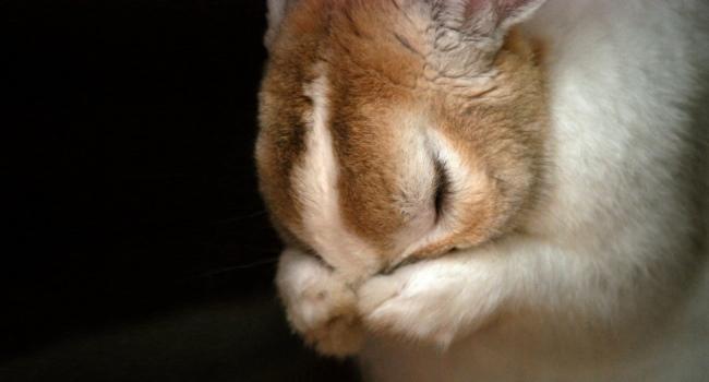 Мокрец у кролика