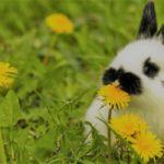 Одуванчики для кроликов