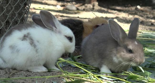 Кролики едят траву