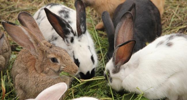 Кролики едят свежую траву