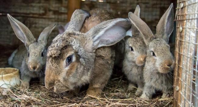 Кролики едят сухую траву